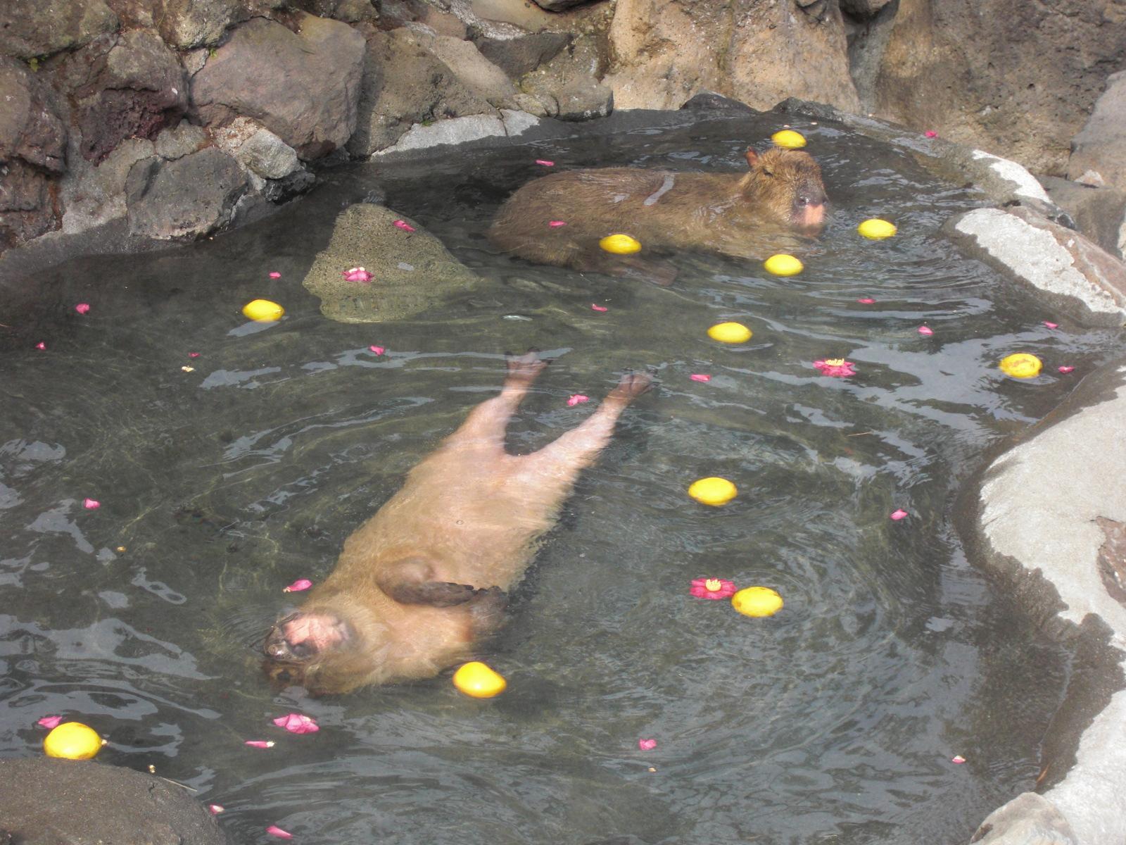 仰向けで泳ぐカピバラ